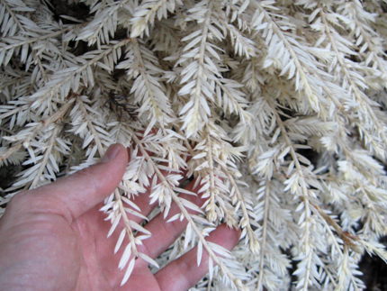 Albino Redwood needles and branches