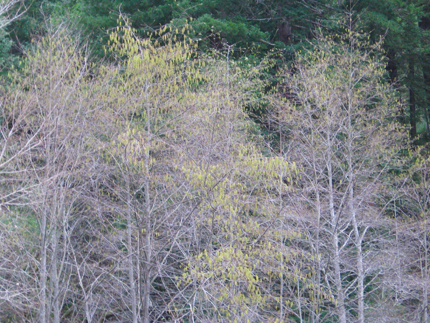 White Alder heavy with catkins