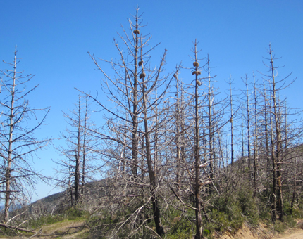 Coulter Pine forest after fire