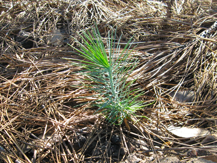 Coulter Pine seedling