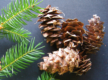 douglas-fir femail cones and branch