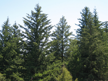 douglas-fir forest and trees