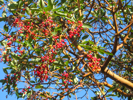 Madrone Red Berries