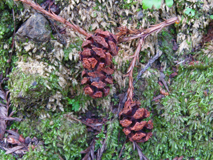 redwood seed cones (female)