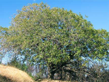 Steve Harper California Black Oak